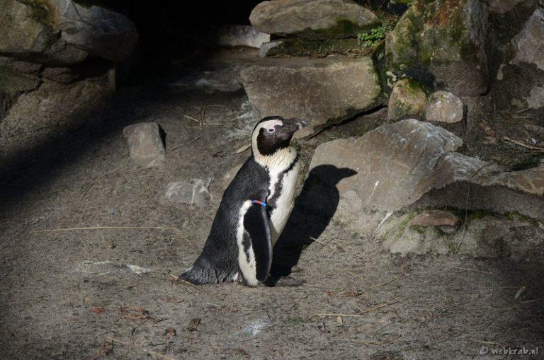 Pinguin (WBKRB-20200303-115921-DSC6433_t800)
